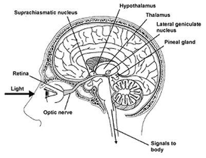 suprachiasmatic_nucleus.jpg