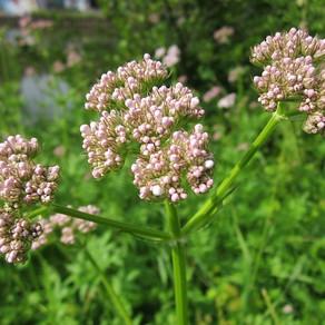 Calming Herbs 1:  Valerian