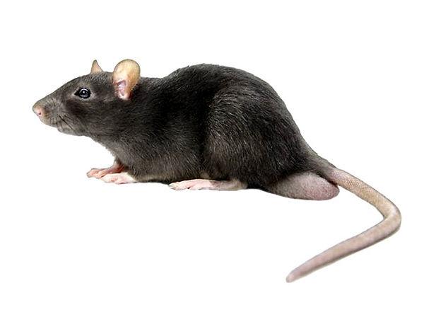 rato-de telhado_edited.jpg