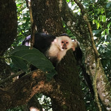 White-Headed Capuchin Monkeys