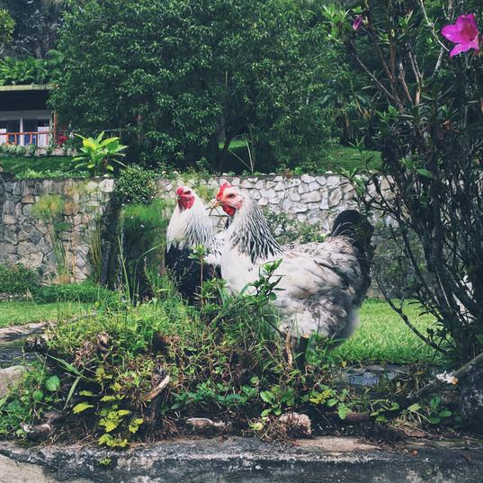 La Amistad Chickens