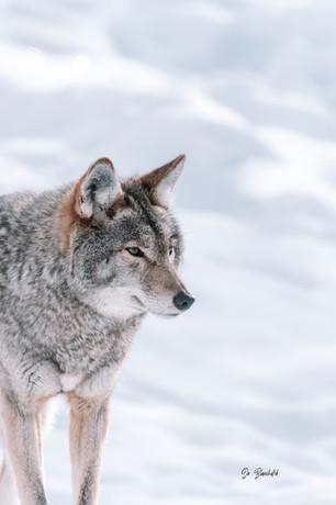 Coyote-Oméga_IMG_0958_S-Web.jpg