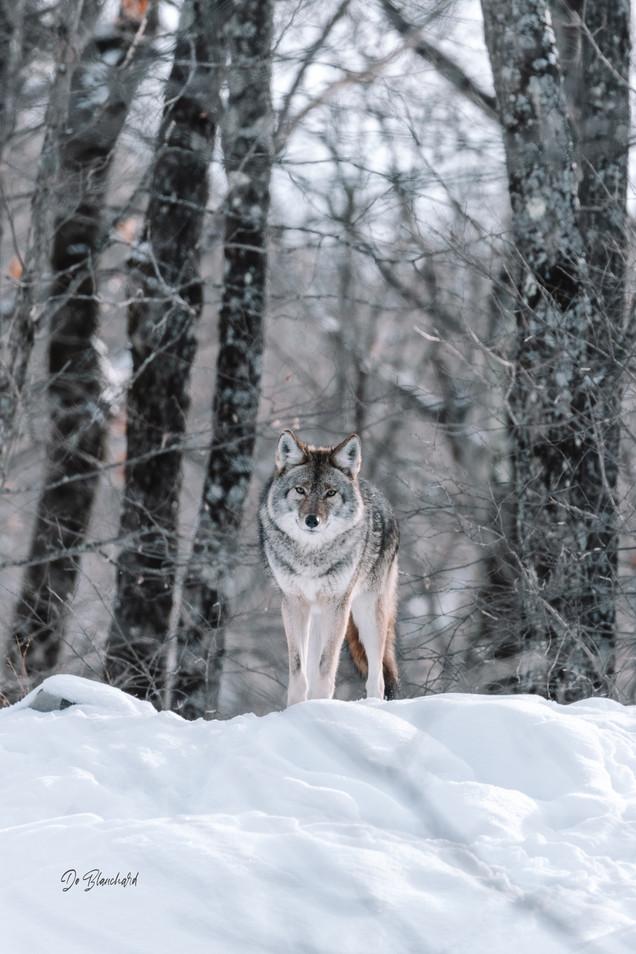 Coyote-Oméga_IMG_0928_Sweb.jpg