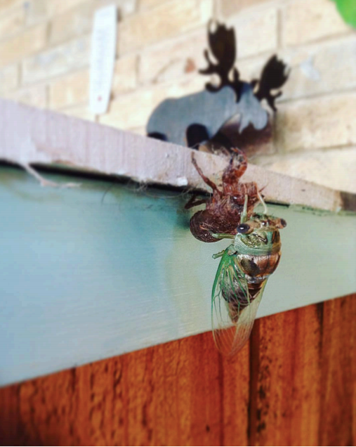 Close-up of a cicada emerging from it's browned shed skin as a fresh green insect. In the background, past the ledge, iis a light brown brick wall and a black metal decorative mount of a 2D moose.