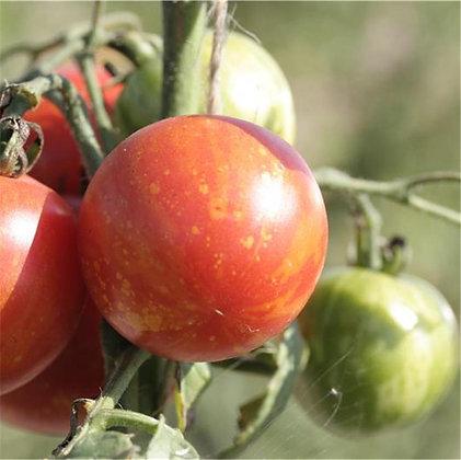 Tomate Tigrella bicolor AB
