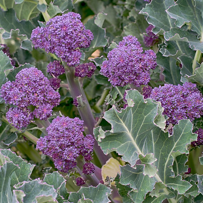 Brocoli Early Purple Sprouting AB