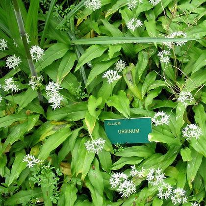 Ail des ours AB (Allium ursinum)