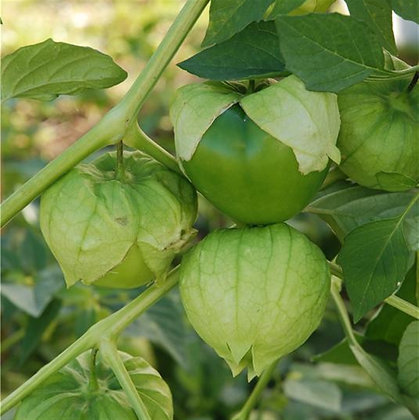 Tomatillo du Mexique AB