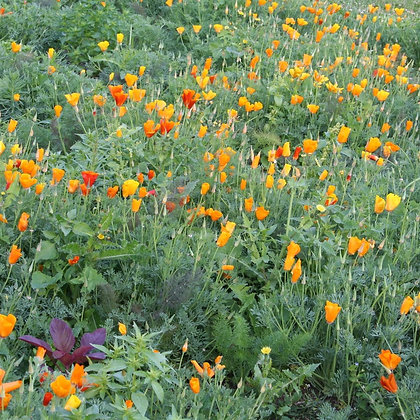 Graines de Pavot de Californie (Eschscholzia californica)