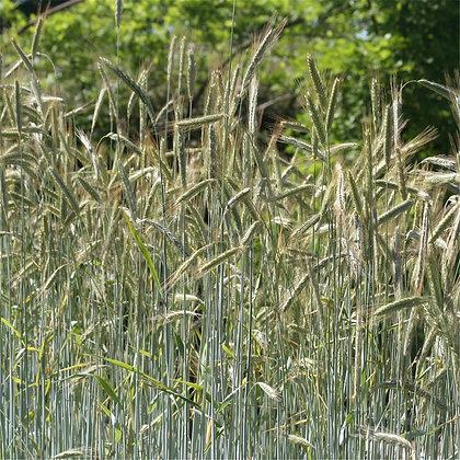 Graines de Seigle Perenne bio