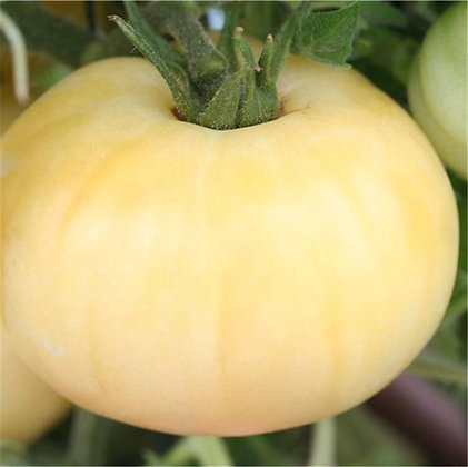 Tomate beauté blanche AB