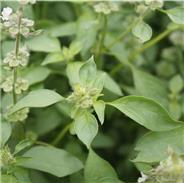 Basilic citron AB (Ocimum basilicum 'Citriodorum')
