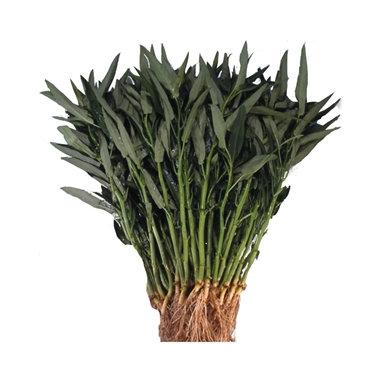 Kangkong ou épinard aquatique NT