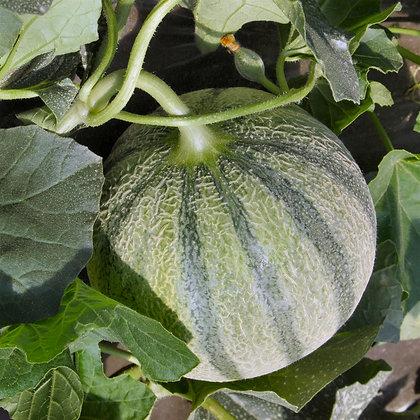 Melon charentais AB