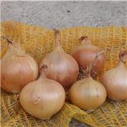 Semences d'Oignon jaune sturon Bio (Allium cepa ´Sturon)
