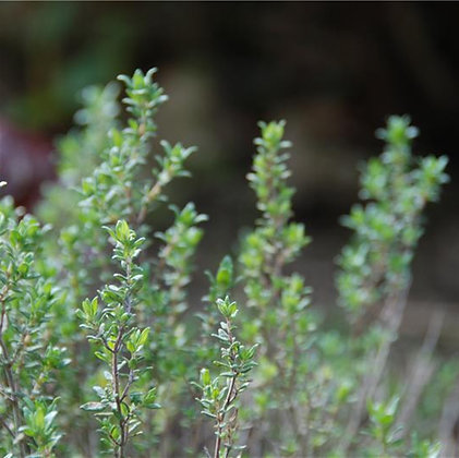 graines de Thym commun Bio (Thymus vulgaris)