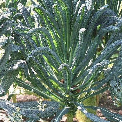 Chou kale lacinato NT (non traité)