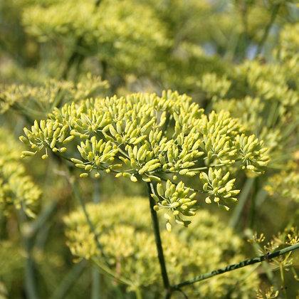 Anis vert en fleurs (Pimpinella anisum)