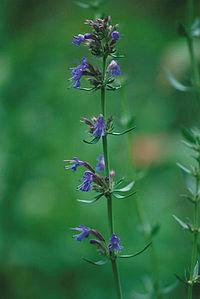 graines d'Hysope Bio (Hyssopus officinalis)