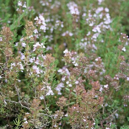 graines de Thym d'hiver Bio (Thymus vulgaris)