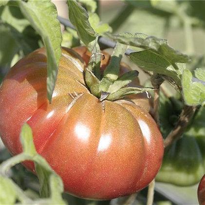 Tomate Purple Calabash AB