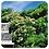 Thumbnail: HE Bio de Tea tree 10ml