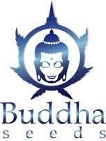 Morpheus - Buddha seeds - Graines CBD