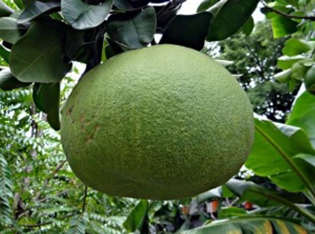 grapefruit-402222_640