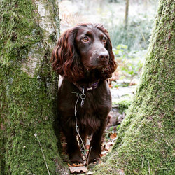 waggattails spaniel in trees