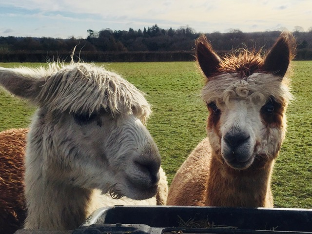 alpaca faces