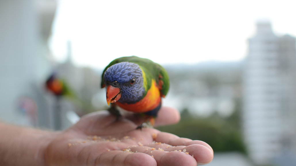 rainbow-lorikeet-eating-from-hand-164651