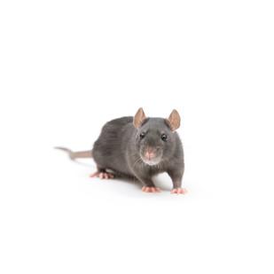 Rat(1).jpg