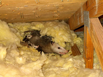 animal-in-attic.jpg