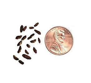 Mouse Droppings Penny.jpg