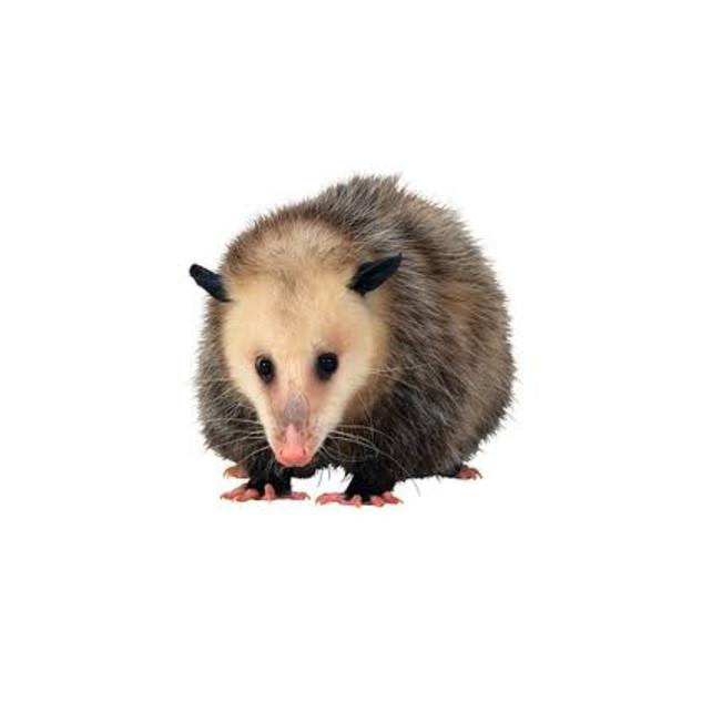 Possum(1).jpg