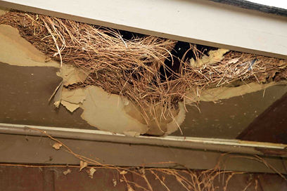 squirrel-nest-in-soffit.jpg