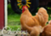 Buff Orpington Chicken rooster