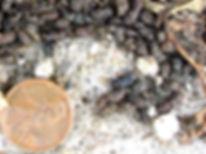 bat droppings(1).jpg