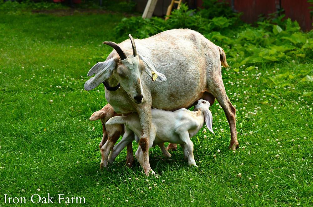 Nubian goat nursing two kids