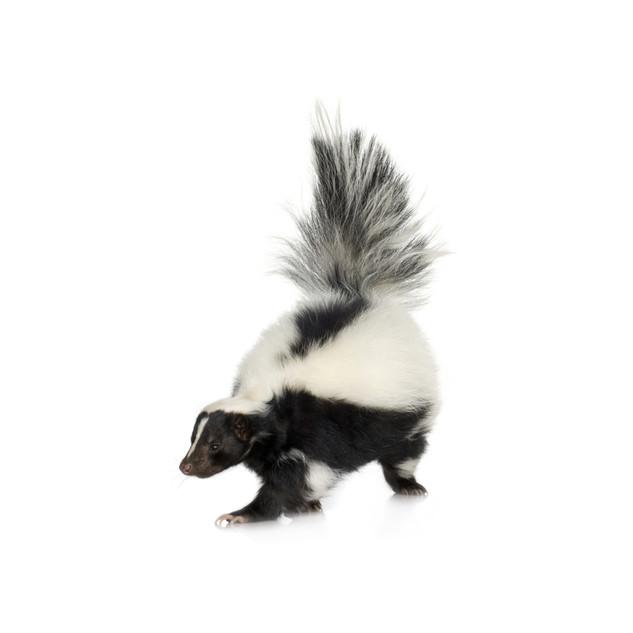 Skunk (2).jpg