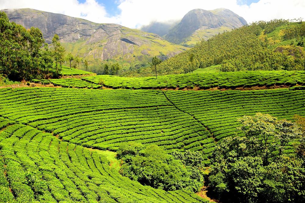 מונאר הודו שדות התה