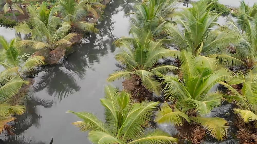 עצי קוקוס האי מונרו שבהודו
