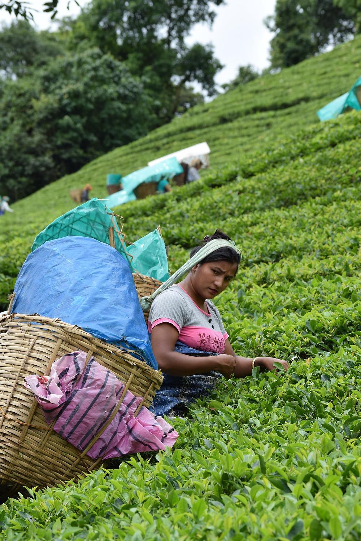 שדות התה של מונאר