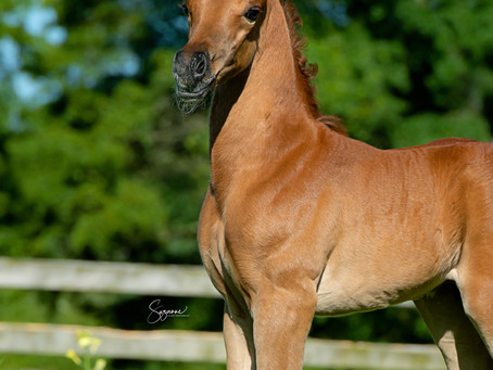 NEW STRAIGHT EGYPTIAN COLT BY AUTHENTIC IBN NAWAAL