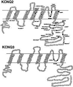 Location-of-29-mutations-in-the-KCNQ2-ge