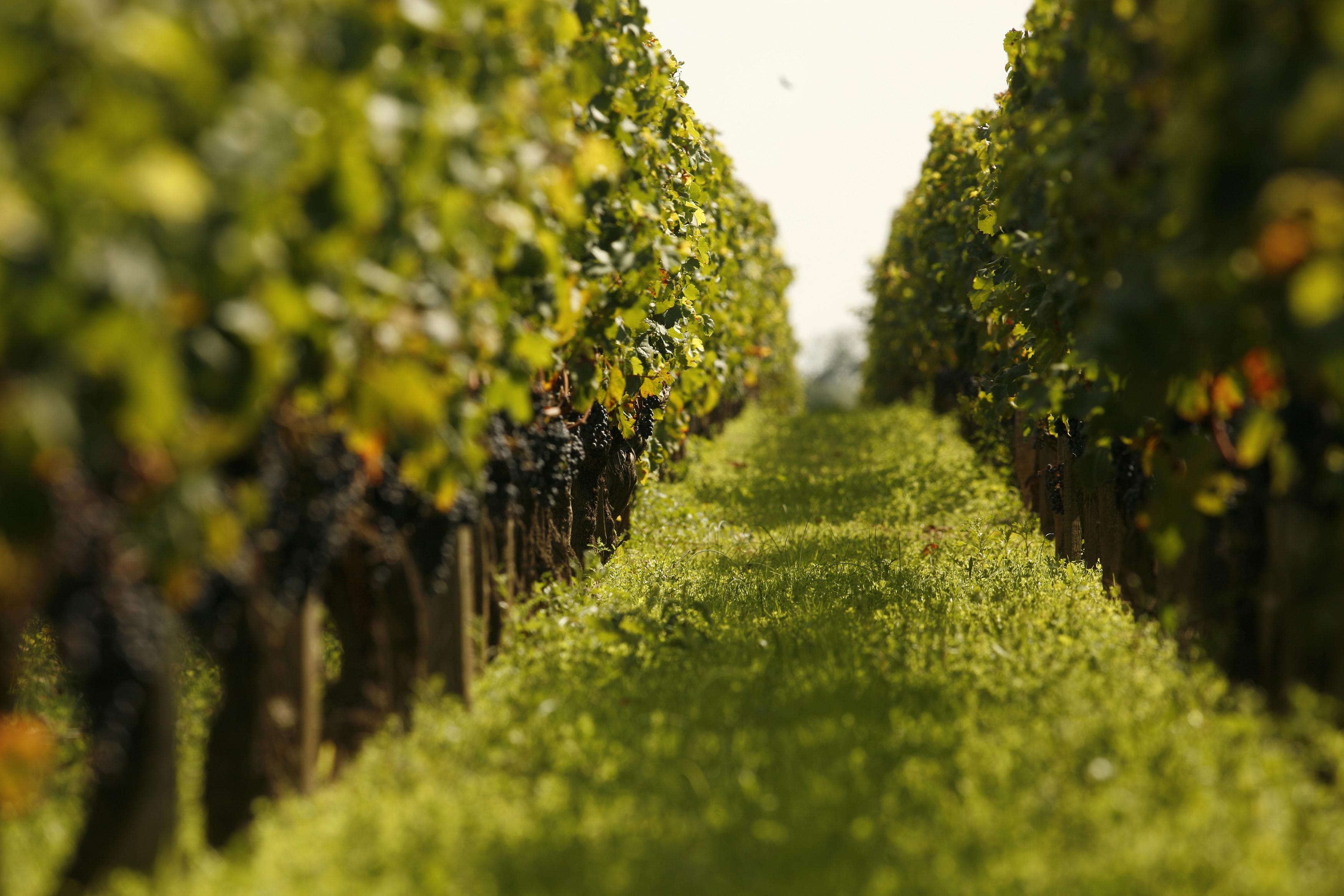 Chateau La Conseillante rangs de vignes avec les raisins sur pieds_1