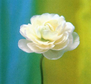 Kate's Rose.jpg
