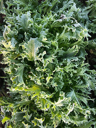 Tres Fin Endive Seed
