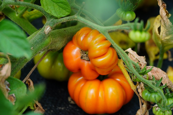 Costoluto Genovese Seed