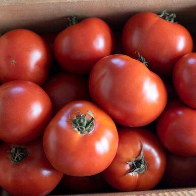 Wisconsin 55 Tomato Plant Start